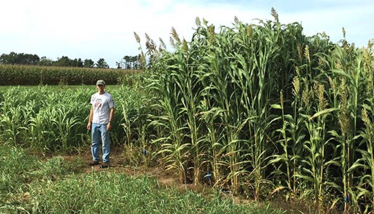 sorghum shows promise in the north hay and forage magazine