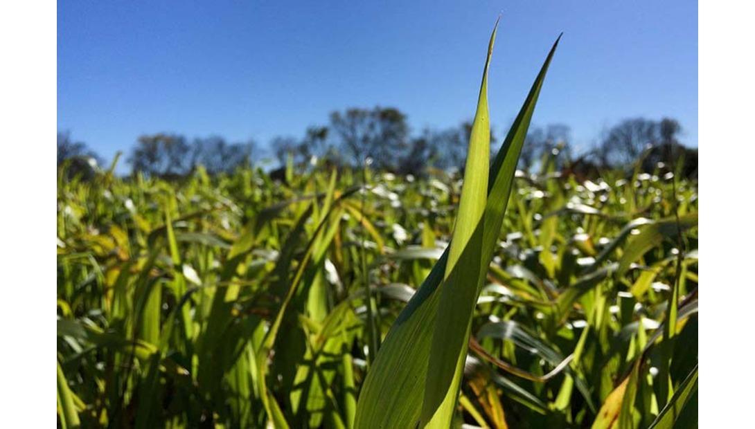 FFAR-corn